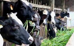 UBND TP.HCM chỉ đạo tháo gỡ khó khăn cho các hộ chăn nuôi bò sữa