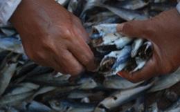 Cá nục chứa chất cực độc Phenol: Ăn sẽ nguy hiểm đến mức nào?