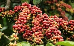 Không còn lý do để giá cà phê tăng?