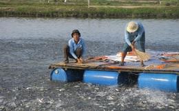 Cá tra nguyên liệu bắt đầu sốt giá