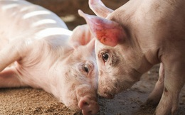 Nhờ smartphone, các bà nội trợ Sài Gòn sắp 'quẳng được gánh lo' về nguồn gốc thịt lợn khi chợ