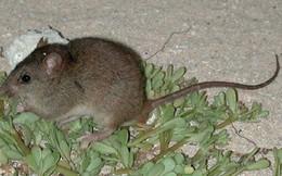 Đây là động vật có vú đầu tiên sẽ bị tuyệt chủng do biến đổi khí hậu