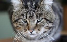 Những người yêu mèo hãy cẩn thận - mèo cào có thể gây tử vong