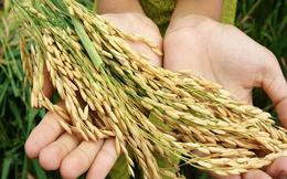 Nguy cơ mất an ninh lương thực do châu Á mất mùa lúa