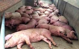 Ăn chất cấm, lợn không được xuất chuồng sẽ chết