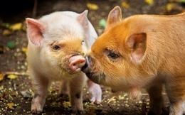 Lo Trung Quốc 'hạ cánh cứng', thép Hòa Phát đổ tiền sang chăn nuôi