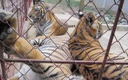 Trùm buôn bán hổ trái phép được cấp phép nuôi hổ bảo tồn tại Nghệ An?
