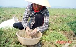 Hành tăm - cây trồng chống biến đổi khí hậu thu trên 200 triệu đồng/ha