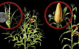 Những hình ảnh cho thấy chúng ta đã ăn ngô, dưa hấu biến đổi gen từ cả nghìn năm nay