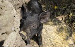 Đại gia game hàng đầu Trung Quốc mở trang trại nuôi lợn để kiếm đồng ra đồng vào, các công ty game Việt có nên học tập?