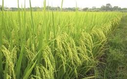 Gạo Việt Nam sẽ đứng đầu thế giới
