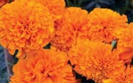 """Lợi ích không ngờ của loài hoa """"sống thọ"""""""