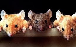 Câu chuyện ba con chuột ăn trộm mỡ: Làm việc nhóm mà không tin nhau thì khác gì kéo nhau cùng chết