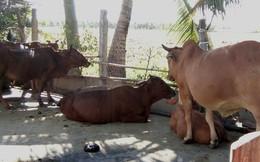 Trồng lúa gặp hạn mặn, bán bò giá chỉ còn phân nửa