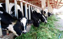Dự án nuôi bò 1.600 tỷ của Hoàng Anh Gia Lai bị thu hồi