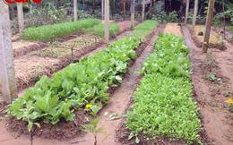 Người Sài Gòn có thể an tâm ăn rau hữu cơ xịn chuẩn Nhật Bản được trồng bởi những người nông dân Bến Tre