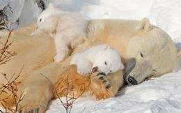 """Loài gấu ngủ đông tới 6 tháng, vậy chúng """"đi toilet"""" vào lúc nào?"""