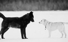 Khởi nghiệp cũng như biến chú chó nhà thành chó sói, một khi đã hoá sói thì chẳng thể trở lại