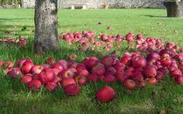 Vì sao chỉ một quả táo thối sẽ làm các quả táo khác thối theo?