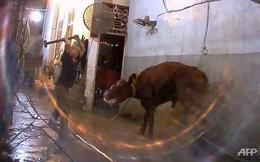Australia cấm xuất bò sang VN: Thiệt cho người làm đúng