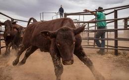 Tập đoàn Trung Quốc quyết mua công ty gia súc lớn nhất Úc