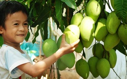 Sau 7 năm ròng rã, những quả xoài tươi đầu tiên của Việt Nam đã sang được Úc