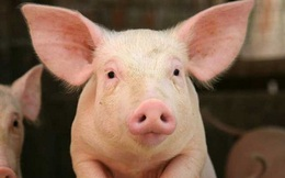 """Giá thịt lợn lao dốc thê thảm, Dabaco đã """"ngấm đòn"""" trong quý 4"""