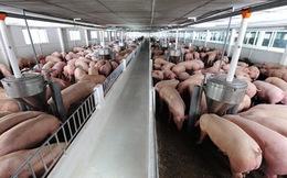 Tắc đường sang Trung Quốc, 4 triệu tấn lợn lo ế nặng