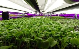 Trồng rau không cần đất, tiết kiệm 98% nước, giảm 70% phân bón, có thể ăn trực tiếp: Câu chuyện về loại rau diếp thần kỳ Nhật Bản