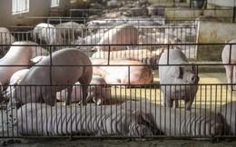 'Giải cứu' ngành chăn nuôi lợn: Đâu là giải pháp căn cơ và dài hạn?