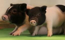 Các nhà khoa học vừa tiến một bước lớn để cấy ghép được nội tạng từ lợn sang người