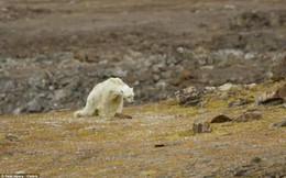 Rơi nước mắt nhìn gấu bắc cực sắp chết đói ở Canada