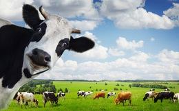 [Infographic] 1 con bò và 8 mô hình kinh doanh