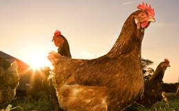 Năm Đinh Dậu 2017, con gà Việt Nam có thể sẽ tỏa sáng