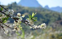 [Photo] Mê mẩn ngắm hoa mận khoe sắc giữa núi rừng Tây Bắc