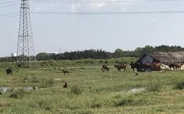 [Ảnh] Dự án sẽ mang về 12.000 tỷ cho QCG vẫn là bãi đất nuôi bò