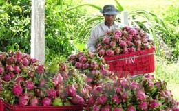 Thanh long sẽ là trái cây đem lại nguồn thu lớn nhất cho Việt Nam?