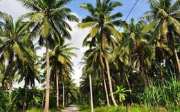 Mất 20 năm đưa dừa Bến Tre ra 20 nước, Cty dừa Lương Quới đang khóc ròng vì nông dân trồng xen canh và phun thuốc sâu, vườn dừa hữu cơ 4.000 ha bị giảm 1/2 diện tích