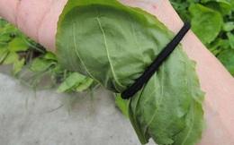 """Một trong những cây thuốc """"quyền lực nhất"""" thế giới: Người Việt tiện tay hái là có ngay"""