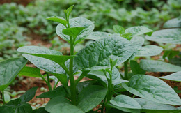 Có mặt thường xuyên trên mâm cơm gia đình, nhưng ít ai biết khả năng chữa bệnh kỳ diệu của loại rau này