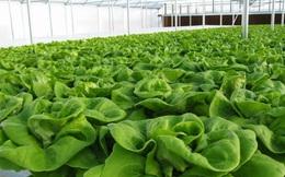 Người tiêu dùng không nên mua rau quá mướt, quá mập và non