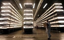 """""""Nhà máy trồng rau"""" sẽ là tương lai của nhân loại: Không cần mặt trời, không cần đất, tiết kiệm 95% nước, năng suất cao gấp 100 lần"""