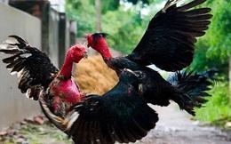 Năm Đinh Dậu, lần đầu tiên con gà của Việt Nam có thể sẽ bước ra thế giới
