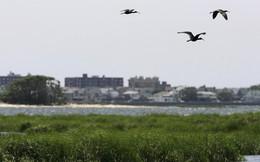 New York diệt 70.000 con chim để dọn đường cho máy bay
