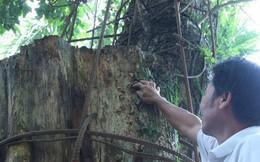 Kỳ án gỗ sưa Chương Mỹ: Đại gia chi 20,5 tỷ đồng mua gỗ điêu đứng, phải bán nhà, bán đất