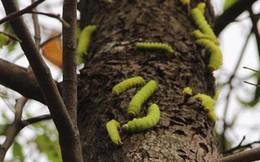 Hàng ngàn con sâu ăn trụi lá hàng cây xanh trong 1 đêm