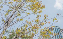 """Hàng cây phong lá đỏ """"củi khô"""" trước đây đã nhuộm sắc vàng đầu thu Hà Nội"""