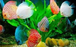 Xuất khẩu cá cảnh của TP HCM có thể đạt hơn 20 triệu USD