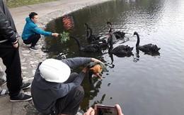 Sau Tết, đàn thiên nga ở hồ Thiền Quang thế nào?