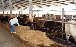 """Nhập về giá 65.000 đ/kg, bán lỗ 2.000 đ/kg, vỗ béo bò Úc """"suy tàn""""?"""